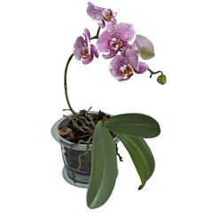 Photorealistic of phalaenopsis with flower pot vector image