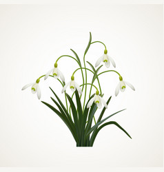 Snowdrops on a white background vector