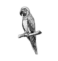 hand drawn macaw parrot sketch vector image