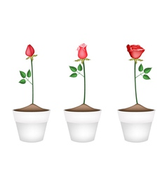Three Red Roses in Ceramic Flower Pots vector image