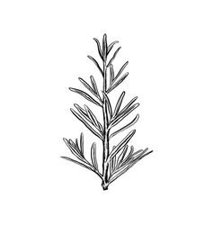 hand drawn rosemary vector image