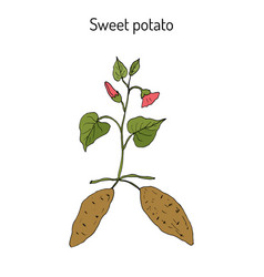 Sweet potato ipomoea batatas vector