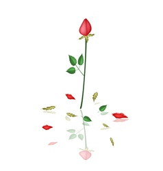 A Lovely Red Roses on White Background vector image