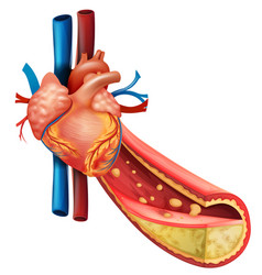 Diagram showing human heart and fat veins vector