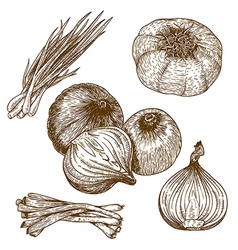 engraving lots of onions vector image