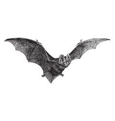Pug nosed bat vintage vector