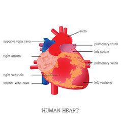 structure and function of human heart system vector image