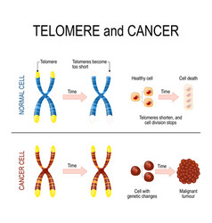 Chromosome and telomere for healthy and cancerous vector