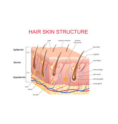 3d structure of the hair skin scalp anatomical vector