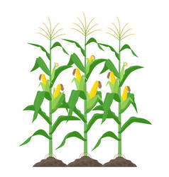 Corn stalks isolated on white background green vector