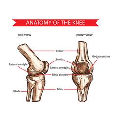 Knee bones and joint sketch human anatomy vector