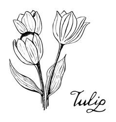 Tulip botany vector