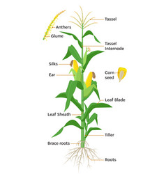Maize plant diagram infographic elements with the vector