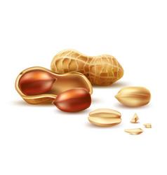 realistic peanut in nutshell kernel shell vector image