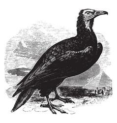 Egyptian vulture vintage vector
