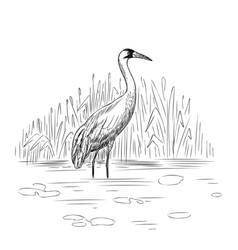 whooping crane vector image
