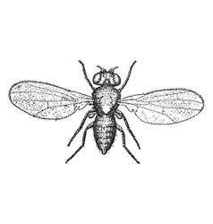 Pomace fly vintage vector
