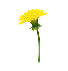 dandelion on stem closeup isolated vector image