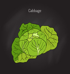 cabbage - garden plant vector image