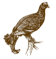 Engraving drawing black grouse vector