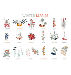 winter berries perfect for winter decorations vector image