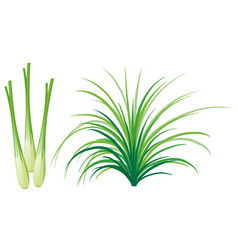 Lemon grass leaves and roots vector
