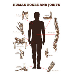 medical poster of human bones joints vector image