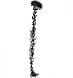 plant rhodiola vector image
