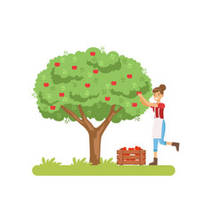 smilng woman picking apples from tree to basket vector image