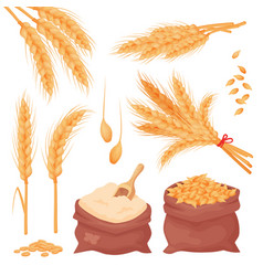 Wheat barley oat spikes and grains bunch vector