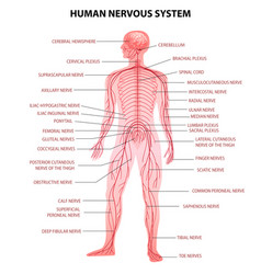 Human body nervous system vector