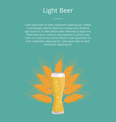 light beer weizen glass on ears of wheat vector image