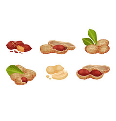 Peanut or groundnut legume plant pod with seed vector