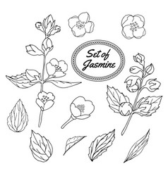 Jasmine set vector