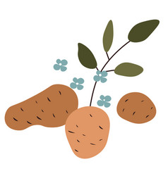 Raw potato plant with foliage flowers and fruits vector