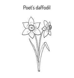narcissus or daffodil daffadowndilly jonquil vector image