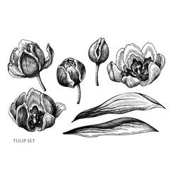set hand drawn black and white tulip vector image