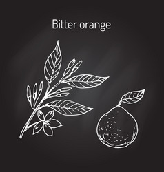 Bitter orange branch vector