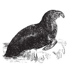 Elephant seal vintage vector