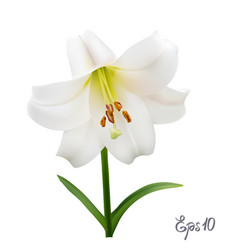 White lily on a white background vector