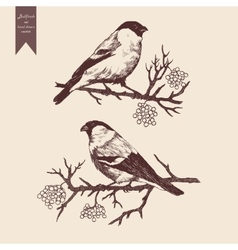 Bullfinch set Hand drawn vector image