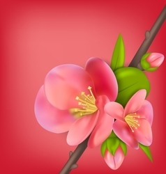 Branch with Buds of Japanese Quince Chaenomeles vector