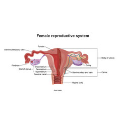 the female reproductive system vector image