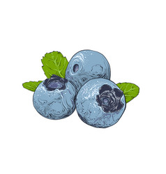 Hand drawn sketch blueberry in color isolated vector