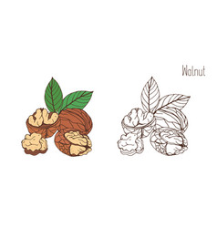 Colored and monochrome drawings of walnut in shell vector