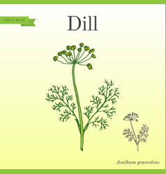 Dill aromatic kitchen herb vector
