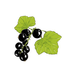 Hand drawn sketch currant in color isolated vector