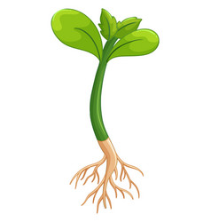 plant with green leaves and roots vector image