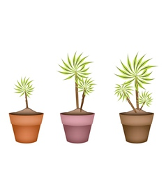 Three Yucca Tree and Dracaena Plant in Ceramic Pot vector