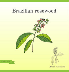 Aniba rosaeodora or brazilian rosewood or vector
